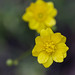 Wildflower - California Buttercup