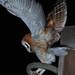 Lovely Plumage - The Barn Owl Version