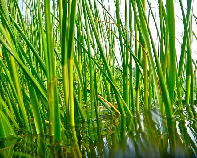 Estuary Plants - Estuary Biomes  Estuary Plants