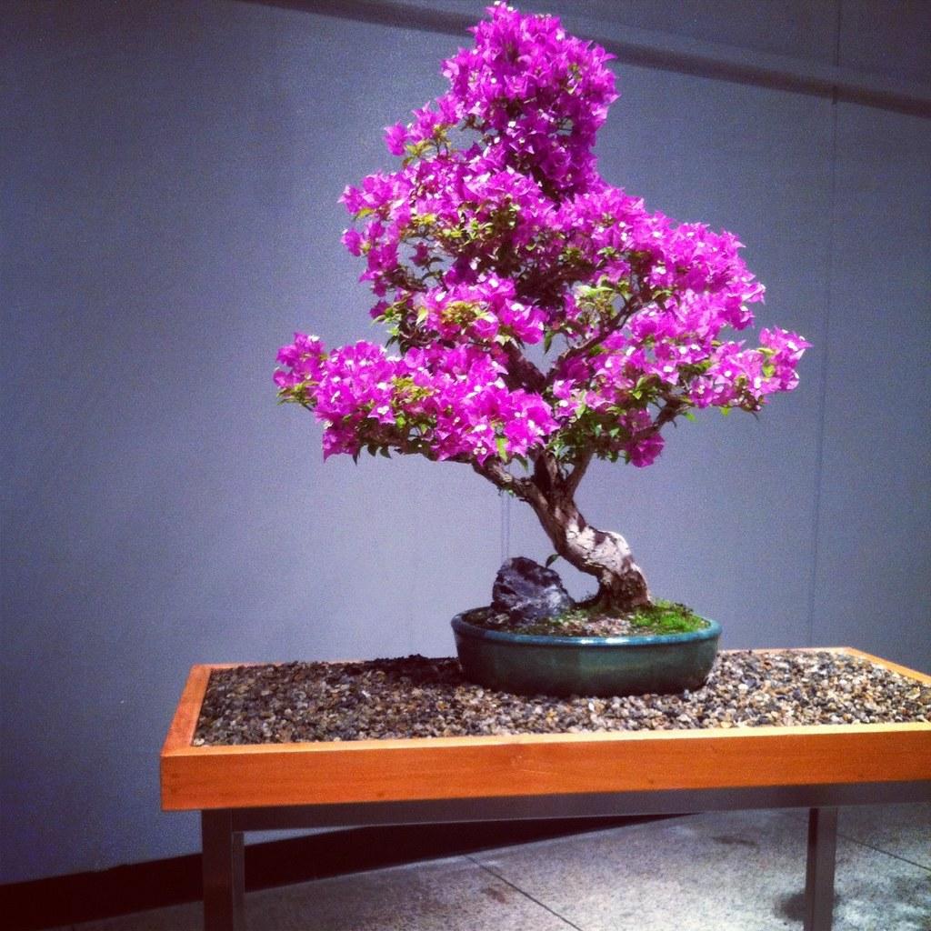 35 yr old bougainvillea bonsai museum of science for Bougainvillea bonsai prezzo