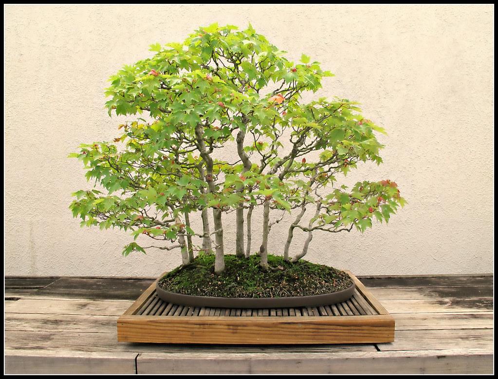 Acer rubrum var drummondii red maple bonsai in training - Arce rubrum bonsai ...