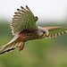 male kestrel 2-6-12