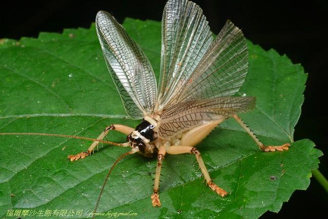 明透翅蟋螽威嚇狀。圖片來源:金門國家公園管理處
