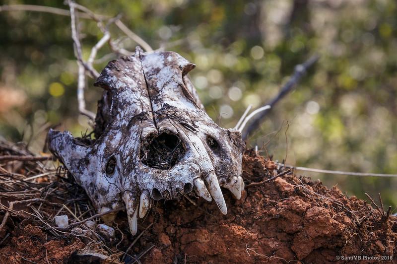 Cráneo de perro enterrado al pie de un árbol arrancado por el viento