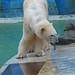 Eisbärin Blanche in der Monde Sauvage Safari in Aywaille