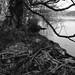 110312-birch-roots