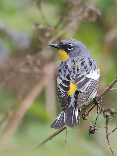 Yellow-rumped Warbler | by tony y. h. tong