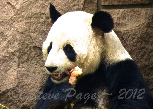 ~ Panda Chowing Down ~ | by iTail ~ 3.4 MV ~ Thanks !!