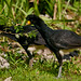Black Curassows