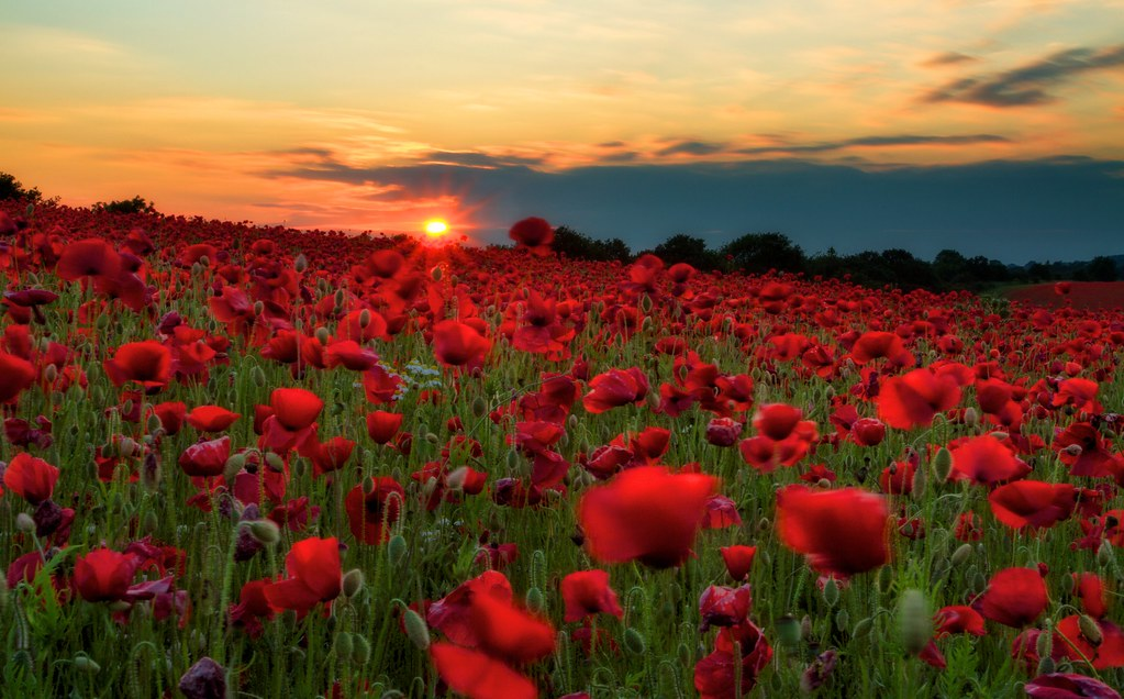 History of the poppy flower on veteransmemorial day a factorymeant only for the manufaction of poppy flowers was built disable veterans from world war 1 were hired immediately benefiting the unemployed mightylinksfo