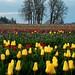 tulips 1 rz