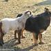Little lamb loving Bear