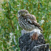 Mocho-galego // Little Owl (Athene noctua)