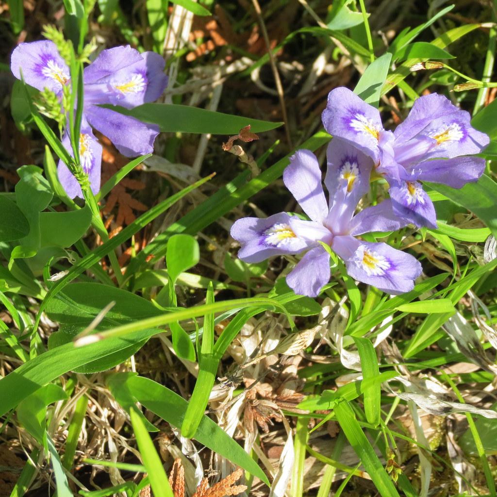 Michigan State Wild Flower Dwarf Lake Iris Found…