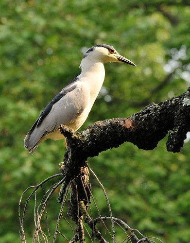 Night Heron on Cherry Tree | by HorsePunchKid