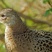 Common Pheasant - Phasianus colchicus