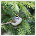 Golden-crowned Kinglet2-a