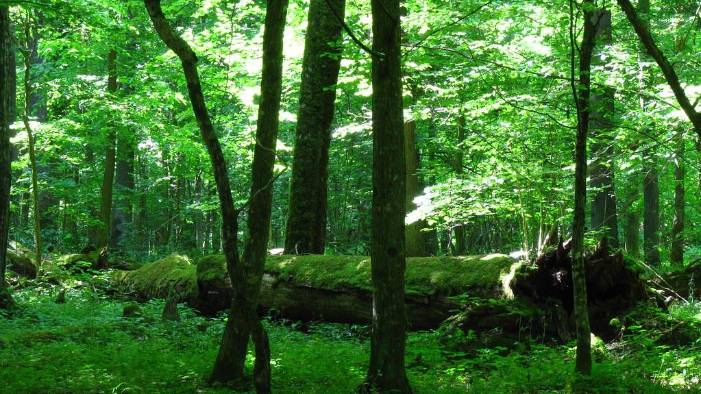 Poland Bialowieska Forest Fallen Tree In Deciduous Lime