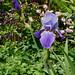 Iris columbine
