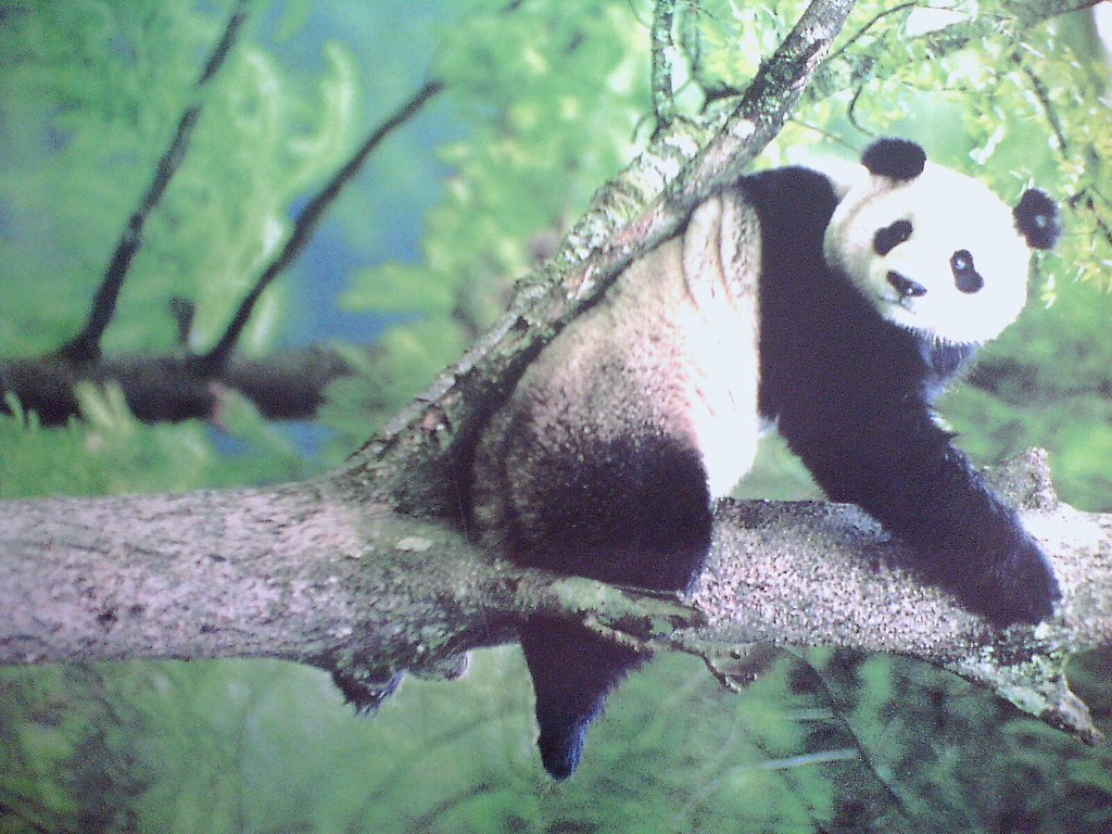 The giant panda is a rare and endangered animal peculiar t ...