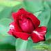 Red rose. Rosa roja.