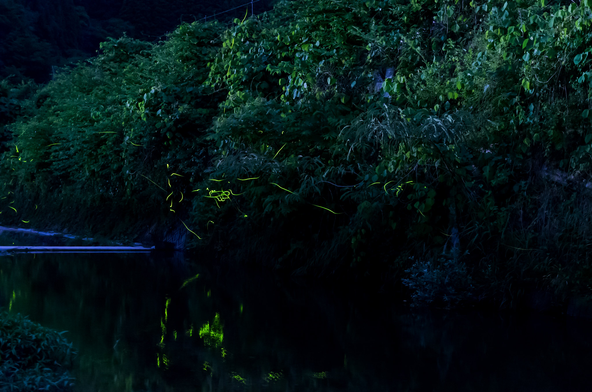 秋里川のホタル 1