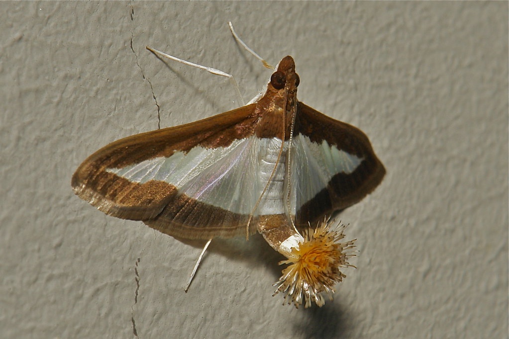 Female Flower Tail Or Cucumber Moth Diaphania Indica Cra