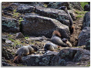 Marmot babies | by walla2chick