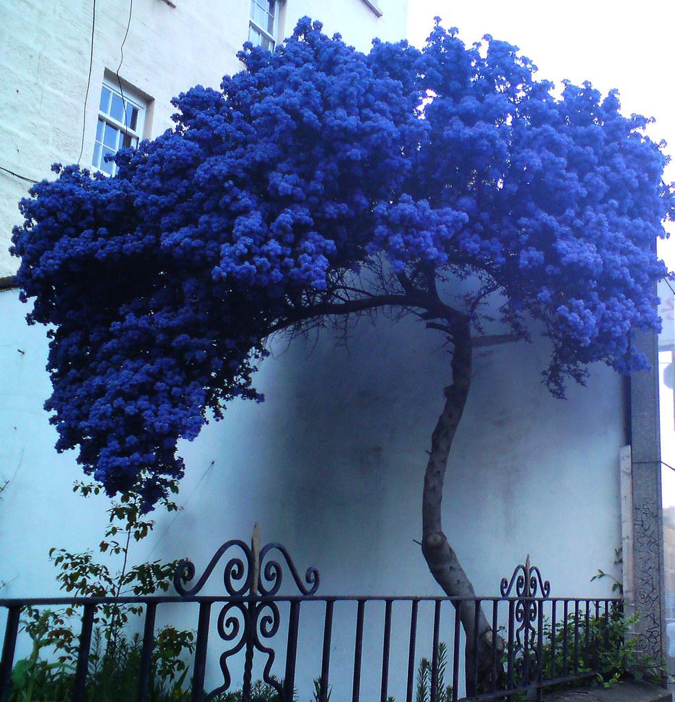 A strange lonely blue tree walking down leithwalk i met for Planta ornamental jacaranda