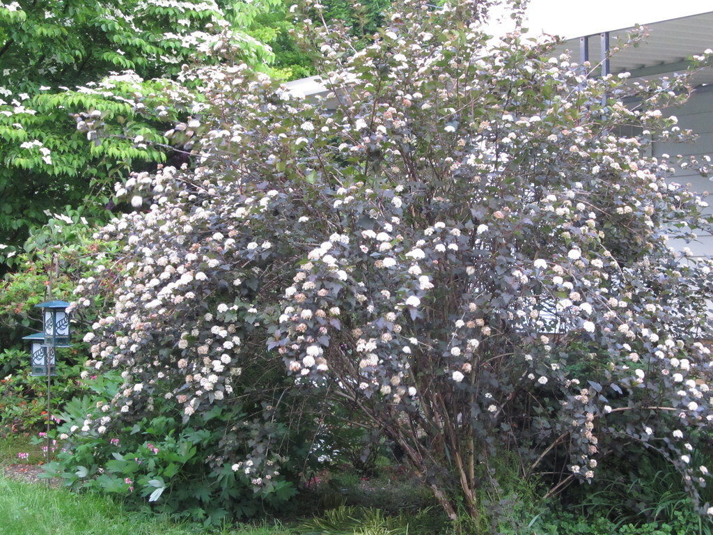39 diablo 39 ninebark physocarpus opulifolius 39 diabolo. Black Bedroom Furniture Sets. Home Design Ideas