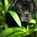 Jungle Pug
