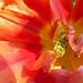 Coeur de Tulipe... P1040832