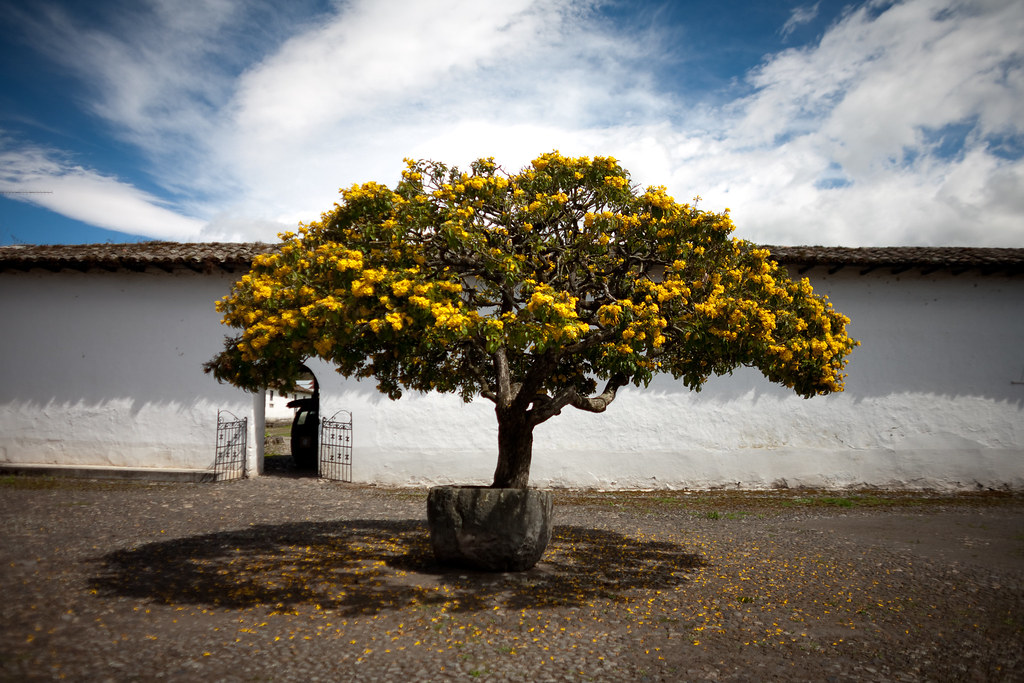 cordia lutea - yellow geiger tree at hacienda zuleta | Flickr