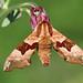 Lime Hawk-moth (Mimas tiliae)