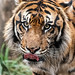 Khunde ♂ - Quite the Handsomest of Tigers