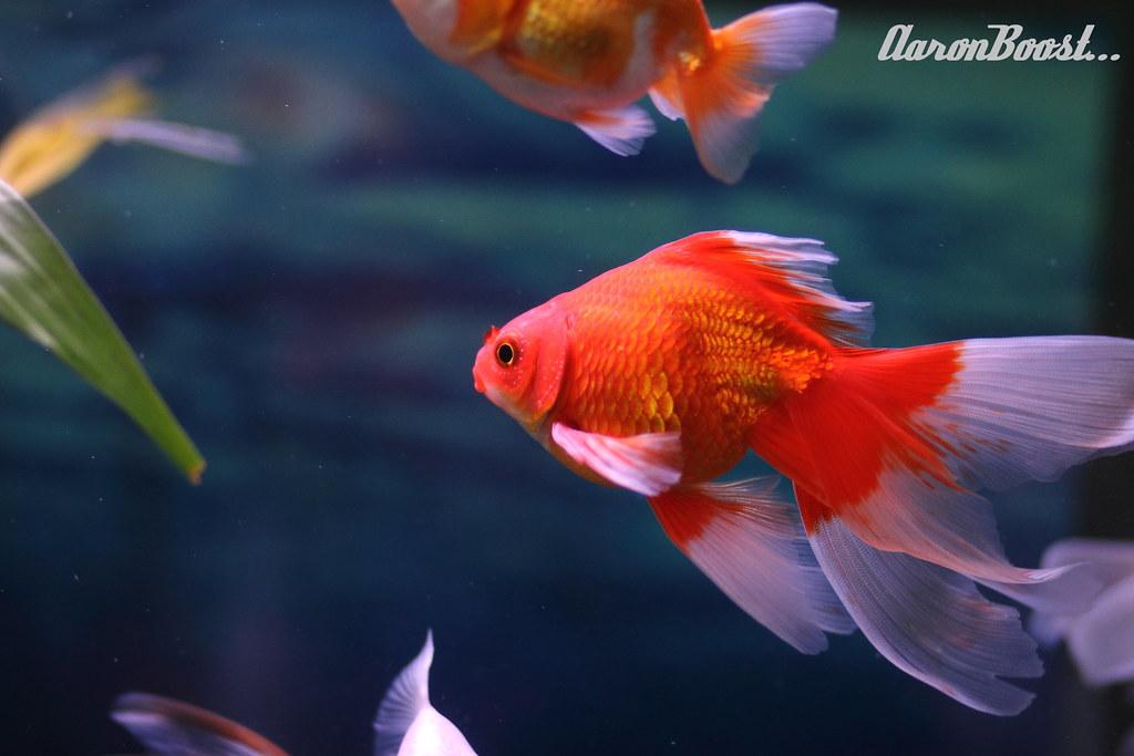 Baby red ryukin goldfish