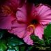 Pink Hibiscus.  Hibiscus rosa.