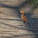 Little Wanderer - Sandhill Crane Colt