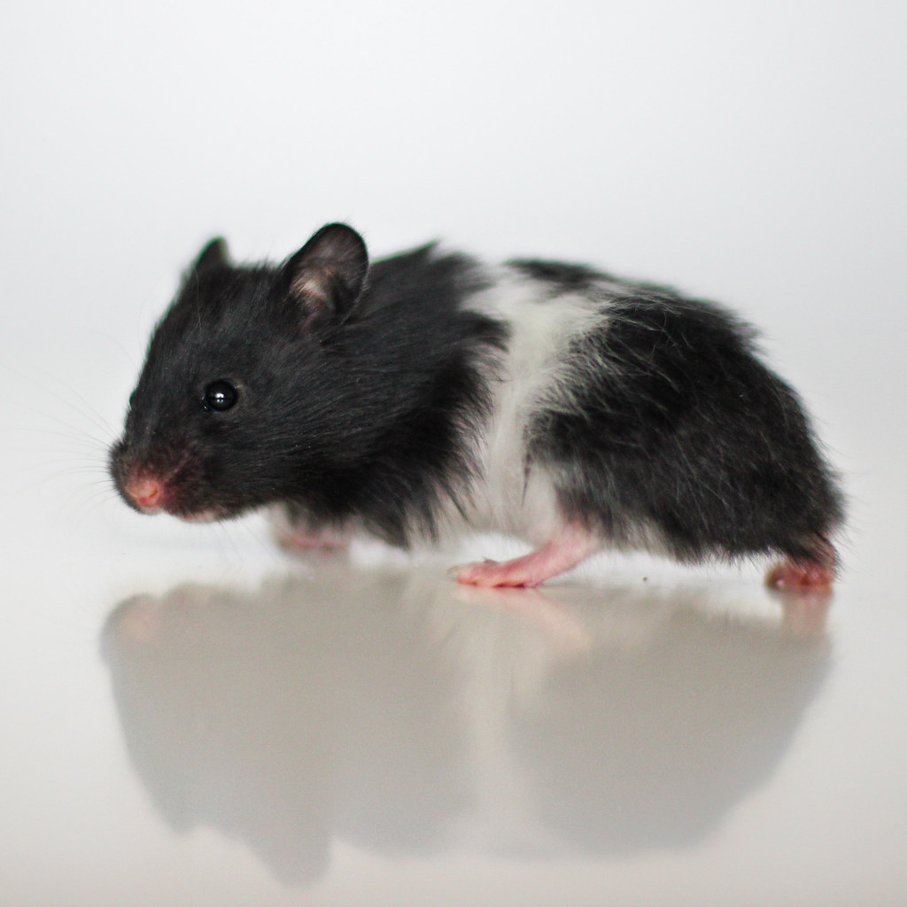Þraut, Black Banded Satin LH Syrian hamster | astakatrin ...