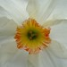 Daffodil / Narcissus (C), Ashley Heath, New Forest, Hampshire, UK @ 7th April 2012