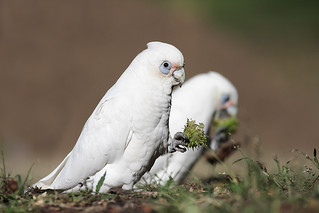 Little Corella | by 0ystercatcher
