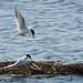 Forster's Terns (Sterna forsteri) 6166