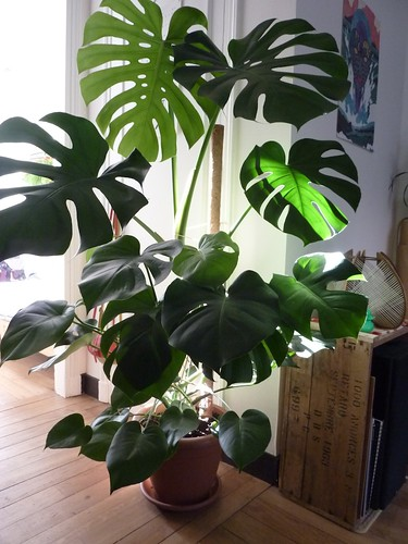 Philodendron monstera | by Solanacee