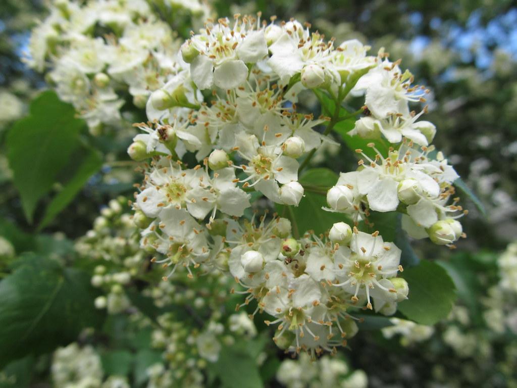 Washington Hawthorn flower Crataegus phaenopyrum = Washing…