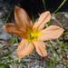 Cape Tulip (Homeria collina)