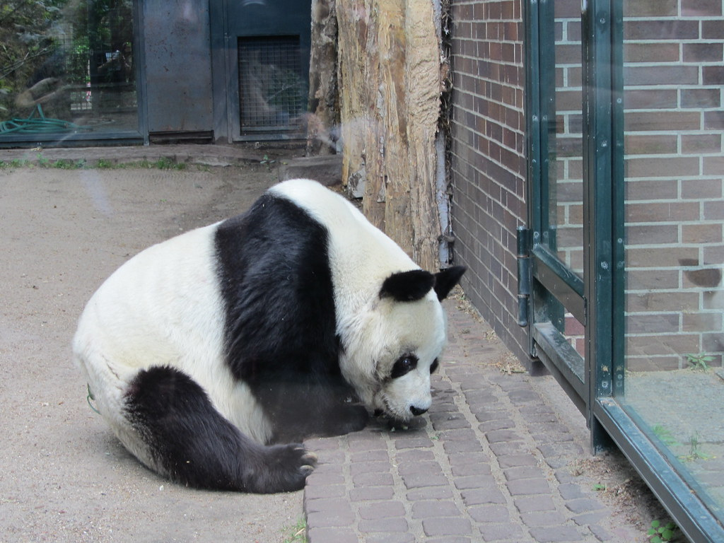 giant panda berlin zoo berlin zoo annelise r flickr. Black Bedroom Furniture Sets. Home Design Ideas
