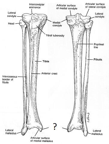 medial malleolus  tibia