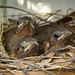 Northern Cardinal Chicks yesterday afternoon. 0346