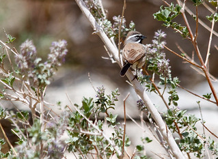 Black-throated Swallow in the Anza Borrego Desert | by mydayin.jpg