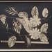 Passiflora acuminata DC.